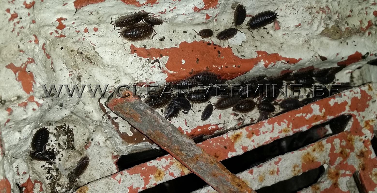 Se débarrasser des cloportes par désinfection professionnelle, les éliminant par pulvérisation, nébulisation, supprimer les cloportes, Clean Vermine