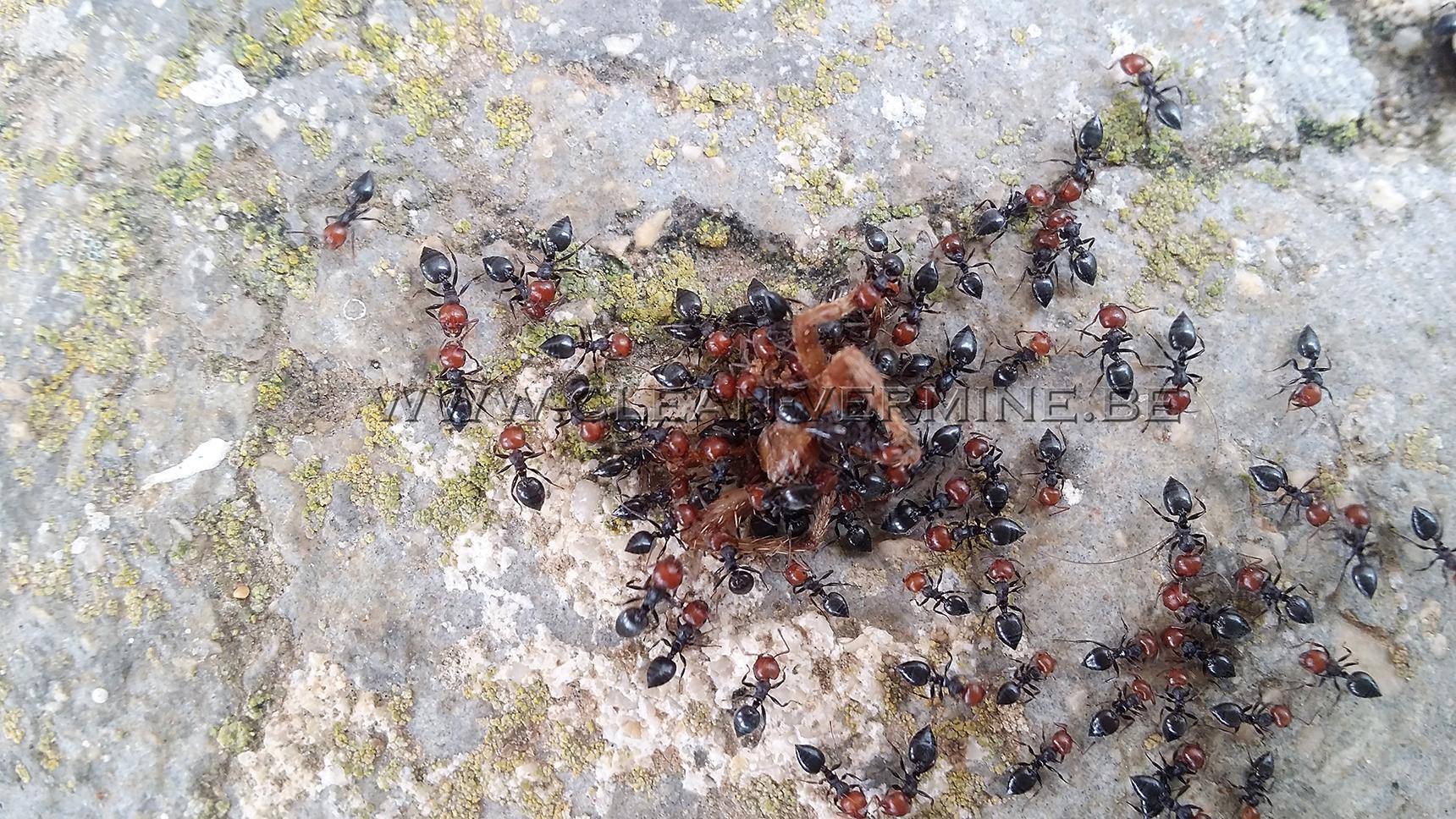 tuer les fourmis grâce à nos solutions anti fourmis et produits, et s'en débarrasser dans la maison grâce à notre société, sur Bruxelles et en Belgique