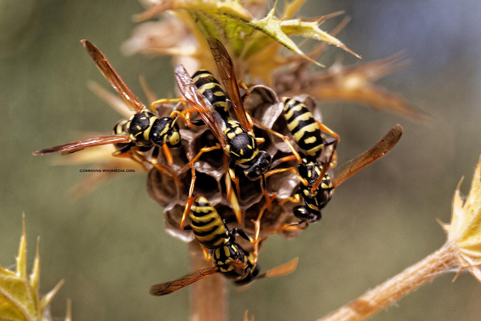 destruction de nids de guêpes par projection de poudre insecticide anti guêpes par Clean Vermine Désinfection, société de traitement contre les insectes