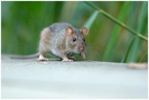 dératisation à koekelberg, rat dans le parc à proximité de la basilique de koekelberg: Clean vermine