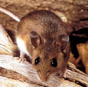 Dératisation à Forest, société de dératisation tuant les rats et les souris à Forest commune de Bruxelles