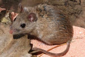 huiles essentielles contre les souris et répulsif souris efficace, ultrasons anti souris, société de dératisation à Bruxelles