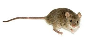 dératisation à rhodes saint genèse, rat rongeur nuisible, service de dératisation Clean vermine