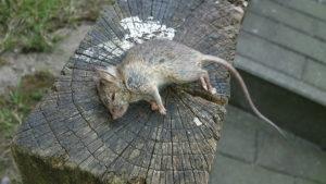 Bactéries transmises par un rat mort, dératisation à Bruxelles, dératiseur à Bruxelles