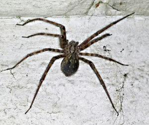 se d barrasser des araign es exterminer les araign es tuer les araign es. Black Bedroom Furniture Sets. Home Design Ideas