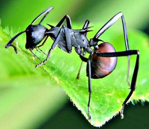 Comment éliminer les fourmis par Clean Vermine Désinfection en Belgique, à Bruxelles