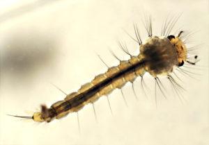 Comment éliminer les larves de moustiques grâce à Clean Vermine Désinfection en Belgique