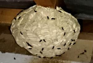 Destruction de nids de guêpes en Belgique , à Bruxelles par Clean Vermine Désinfection