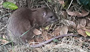 Comment se débarrasser des rats dans un jardin par dératisation avec Clean Vermine Désinfection à Bruxelles