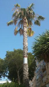 comment empêcher les rats de grimper aux arbres ou aux palmiers par Clean Vermine Désinfection