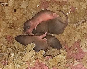 comment faire fuir les rats: Conseils de Clean Vermine
