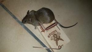 maladies transmises par les souris à l'homme