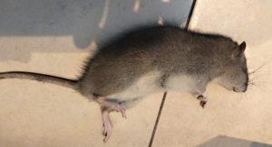 pièges connectés contre souris et rats en dératisation connectée