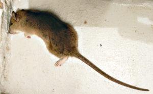 Comment savoir si on a des rats à la maison